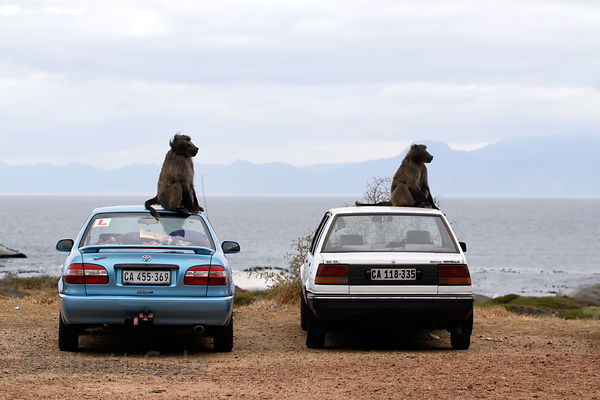 Chacma baboons from the Smitswinkel troop sit on top of cars at Miller's Point, Cape Peninsula, South Africa