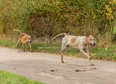 Cottesmore hounds on Newbold Road. The Cottesmore Hunt at Somerby