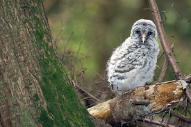 July - Barred Owl, fledgling