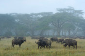 Buffalo (Syncerus caffer caffer) in the mist, Lake Nakuru National Park, Kenya