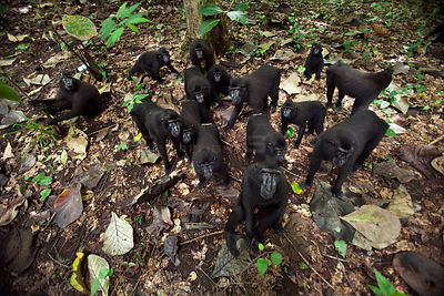 Celebes / Black crested macaque (Macaca nigra)  group approaching with curiosity, overhead view, Tangkoko National Park, Sula...