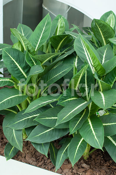 Dieffenbachia 'Green Magic', vert