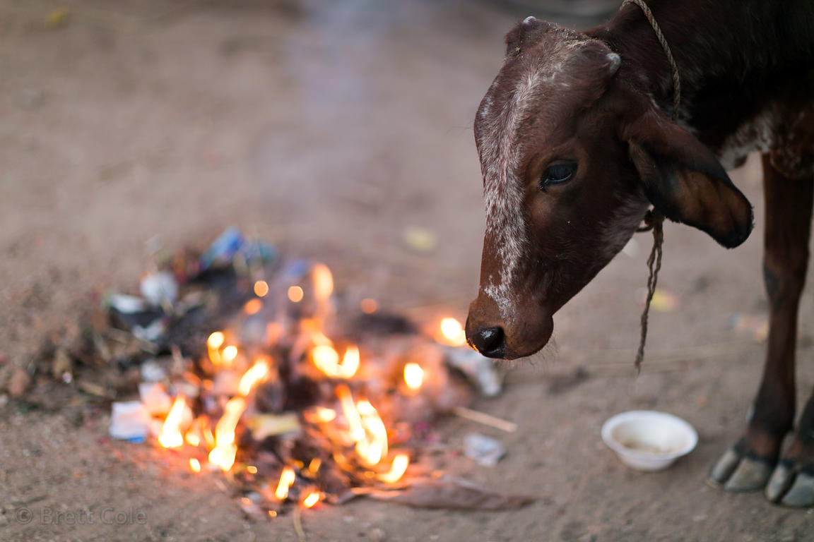 A cow eats flaming garbage in Pushkar, Rajasthan, India