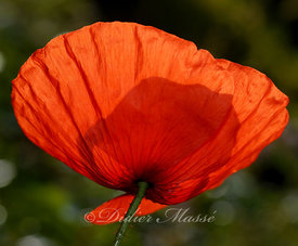 Coquelicot 4 Ennery Vall d'Oise 06/09