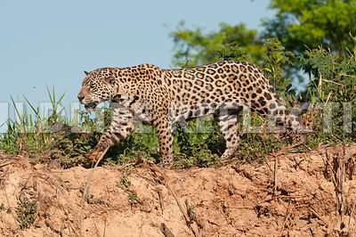 jaguar_riverbank_walk_sky09081305_