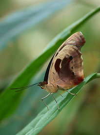 Tropical butterfly species ( Knokke )