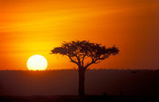 Acacia tree at sunset, Maasai Mara National Reserve, Kenya