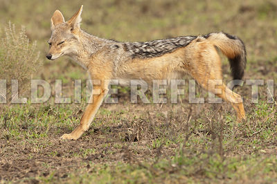 black_backed_jackal_stretch_profile_2