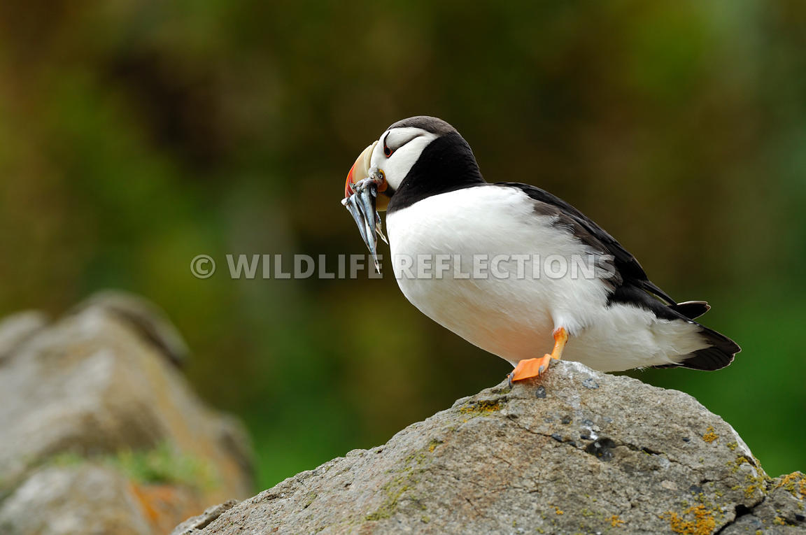 Horned Puffin With Fish Belly View 9