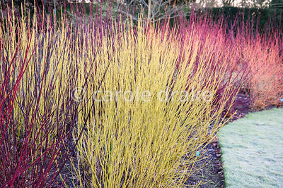 A bed of brightly coloured cornus including red Cornus alba 'Sibirica', greenish C. sericea 'Flaviramea' and dark C. alba 'Ke...