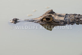 caiman_close_eye-6