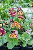Auriculas for sale in a polytunnel. Summerdale House, Lupton, Cumbria, UK