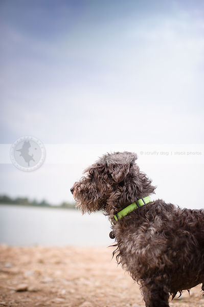 portrait of small silver curly coated dog on beach