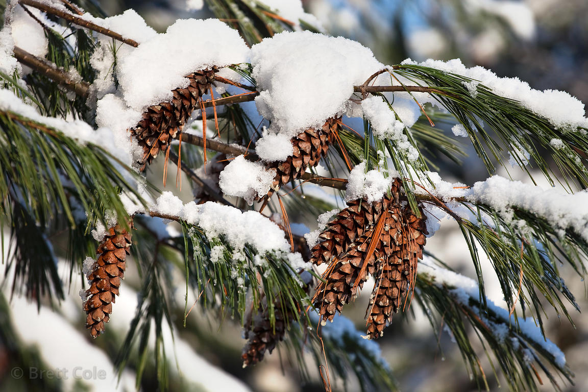 Pine cones in Winter, Green Farm Park, Montgomery County, Maryland