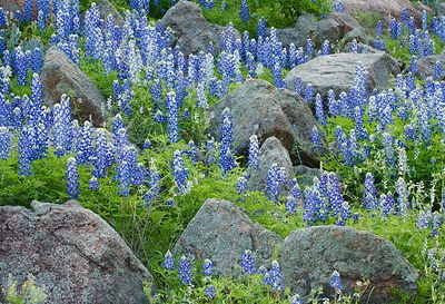 Bluebonnets and Rocks