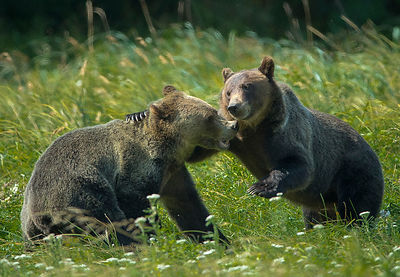 Bear Brothers