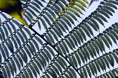 Detail of tree fern fronds, Las Nubes, Costa Rica