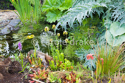 Carnivorous plants including Sarracenia x popei, darlingtonias and droseras planted beside the pond opposite large foliage pl...
