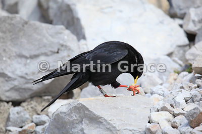 Ringed Alpine or Yellow-Billed Chough (Pyrrhocorax graculus) eating food held in one foot, Picos de Europa, Cantabria, Spain