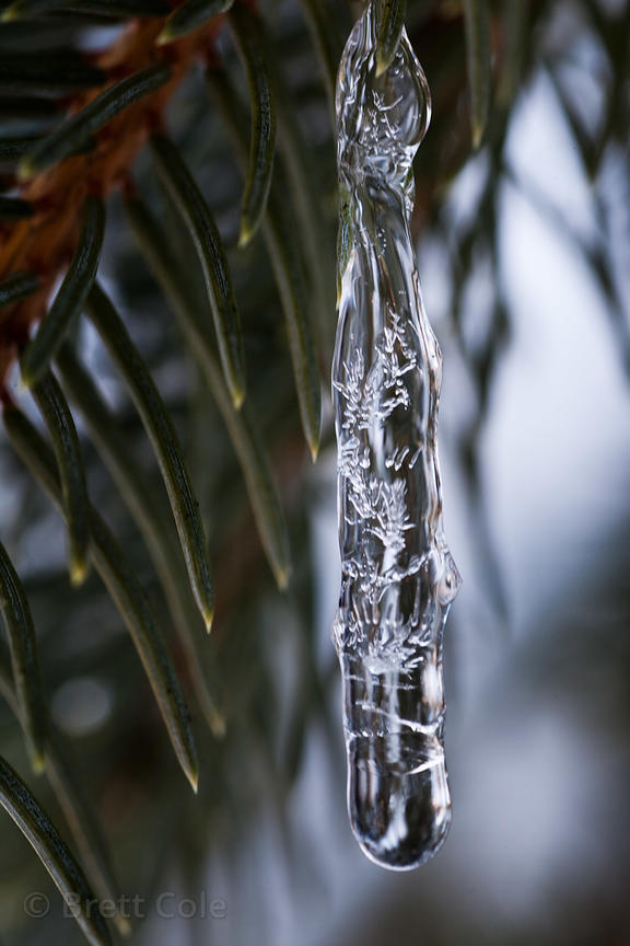 Icicles on a pine tree, Gaithersburg, Maryland