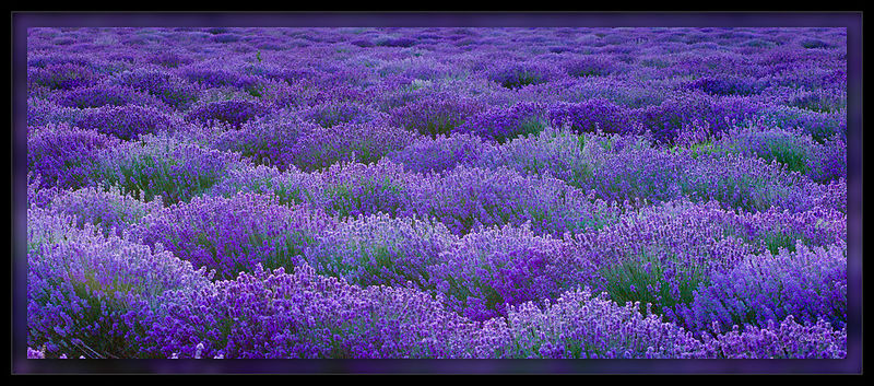 Clouds of Lavender