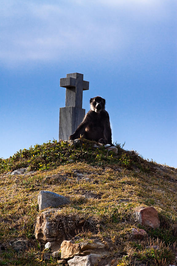 Chacma baboon from the Buffels Bay troop sits near the De Gama Cross, Buffels Bay, Cape Peninsula, South Africa