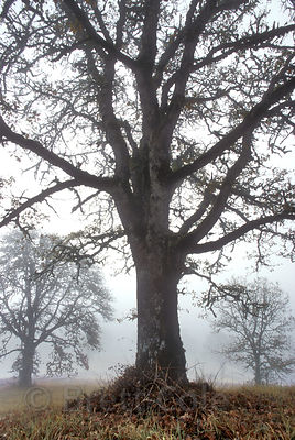 An old Oregon White Oak tree in thw WIllamette Valley, Oregon.