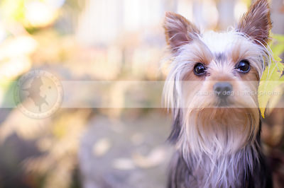 closeup of silky little yorkie dog staring with minimal background