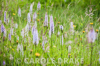 Common spotted orchid, Dactylorhiza fuchsii.  Upper Tan House, Stansbatch, Herefordshire, UK