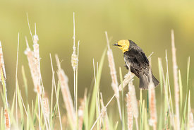 June - Yellow-headed Blackbird (male)