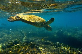 Snorkeling at turtle point, Fairmont Orchid, Kamuela, Kona Hawaii