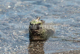 marine_iguana_waters_edge-5