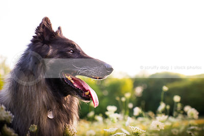 portrait of sable panting dog in summer meadow with sky