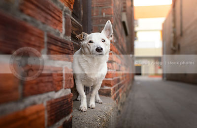 small senior white shorthaired dog standing on stoop in urban alleyway