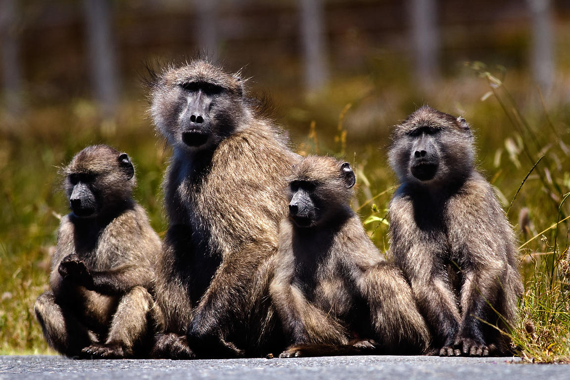 Baboons from the Plateau Road troop sit in the middle of Plateau Road, Cape Peninsula, South Africa.