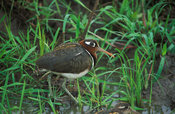 Greater painted snipe (Rostratula benghalensis), lake Mburo National Park, Uganda