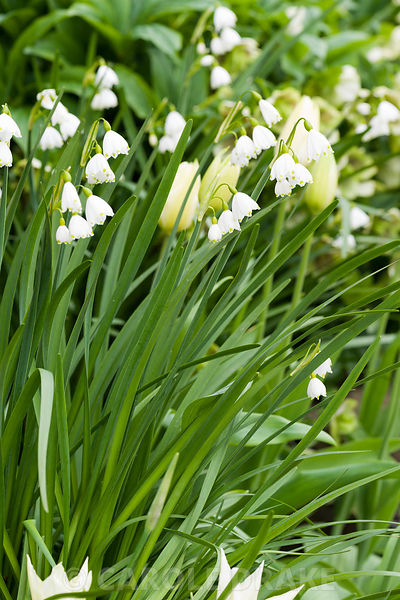 Leucojum vernum, the spring snowflake. Brilley Court Farm, Whitney-on-Wye, Herefordshire, UK