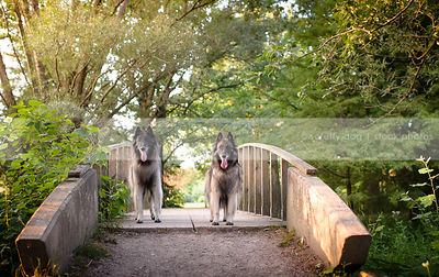 two pretty shepherd dogs standing on bridge on park path
