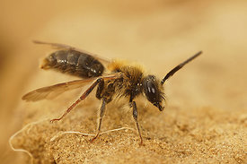 Andrena haemorrhoa - male