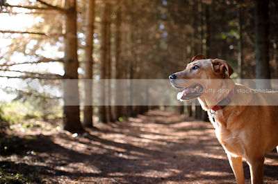 handsome tan hound dog standing in forest of pine trees