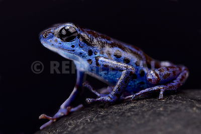 "Blue strawberry dart frog (Oophaga pumilio) ""Rio Colubre"""