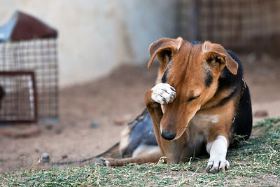 Portrait of a dog at the Tree of Life for Animals rescue center in Pushkar, India