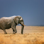 Elephant walking in vast open grass field