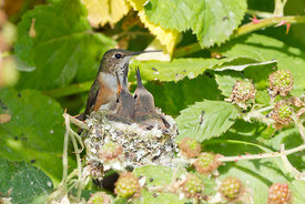 July - Rufous Hummingbirds