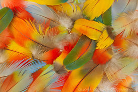 Feathers from a Scarlet macaw. The bird was killed by a hunter's poisoned dart shot from a blowgun. The bird was killed for m...