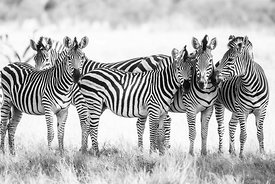 Zebra 5 : Zimbabwe 2017  Photographer: Neil Emmerson  £975 inc UK VAT