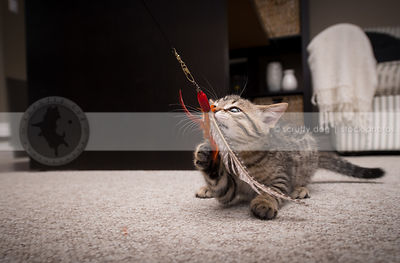 ferocious little kitten with ears back biting feather toy at home indoors