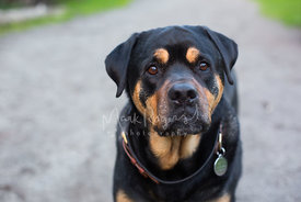 Close-up of Sad Brown Eyed Rottweiler