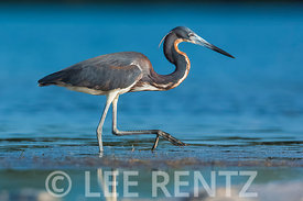 Tricolored Heron at Tigertail Beach Park