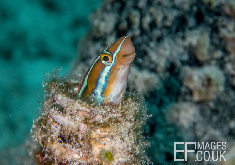 A Blue Striped Fang Blenny has made itself at home in this Bottle Reef